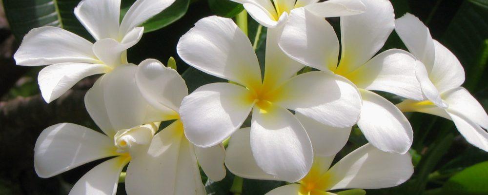 jasmine-3127260_1920